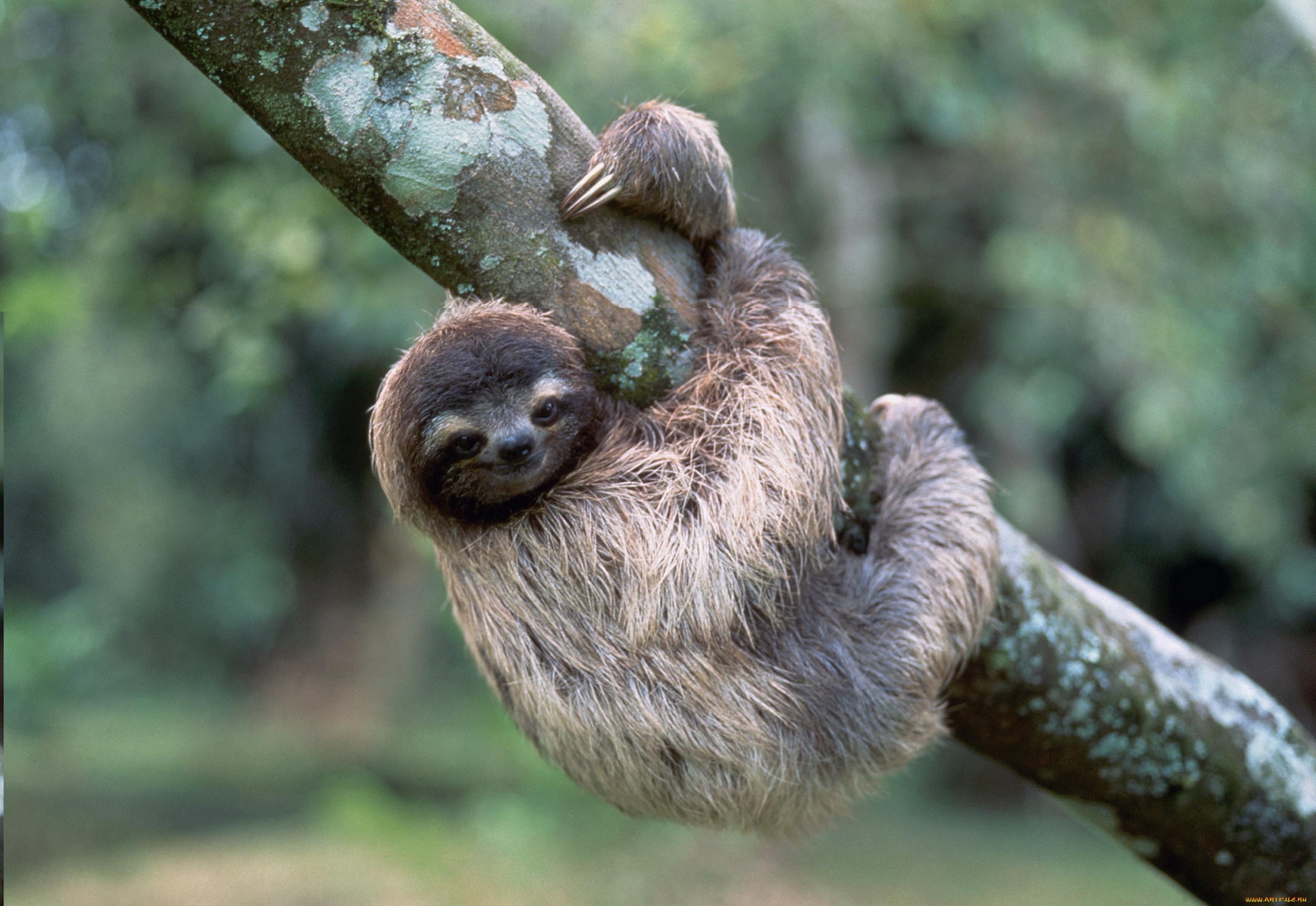 только поймете, картинка ленивица животное ваше